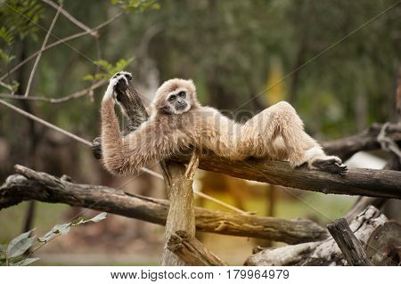 Female Northern White-Cheeked Gibbon - Nomascus leucogenys.
