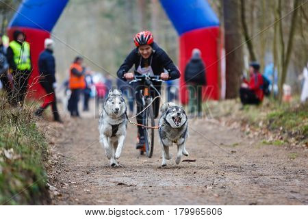 Dryland sled dog races during the International competition Yantarnaya Shleika 2 in a spring forest