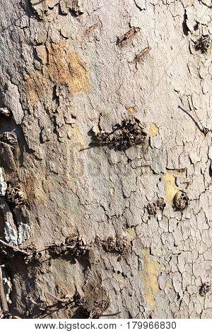 Tree bark poplar on nature as background
