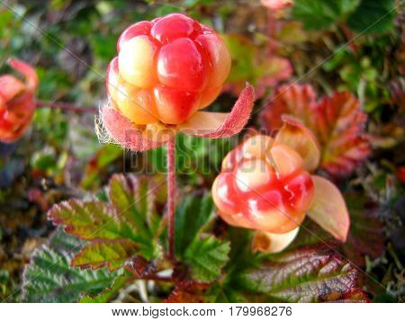 Berry cloudberry grows in the tundra natural