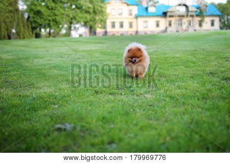 Runnig dog. Pomeranian dog. Beautiful dog. Pom