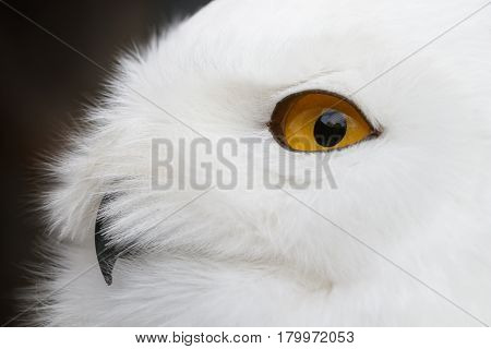 Close-up photo of a Snowy owl (Bubo scandiacus).