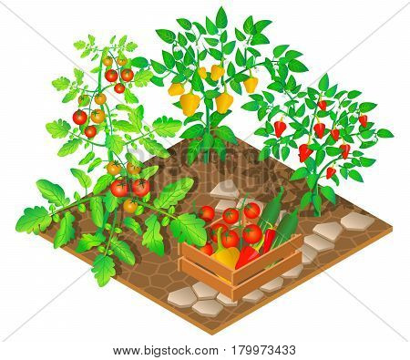 Growing peppers and tomatoes. 3D isometric view. Vector illustration.
