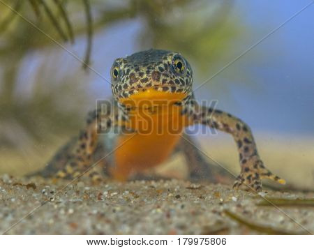 Frontal Image Of Male Alpine Newt