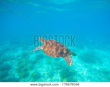 Green turtle swim in blue sea water. Snorkeling with tortoise. Wild green turtle in tropical lagoon. Oceanic environment with animals and seaweeds. Marine ecosystem. Vibrant scene in exotic lagoon