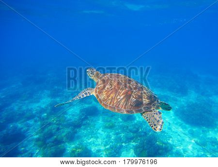Green turtle swim in blue sea water. Snorkeling with tortoise. Wild green turtle in tropical lagoon. Oceanic environment with animals and seaweeds. Marine ecosystem. Vibrant scene in exotic seaside