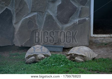 Two large turtles creep along the grass in a contact zoo
