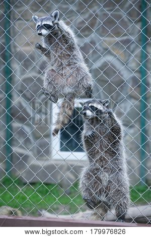Two raccoons climb a cage in a contact zoo