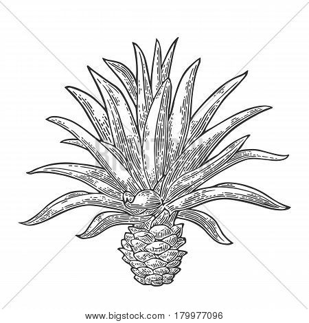 Cactus blue agave. Vintage vector engraving illustration for label poster web. Isolated on white background