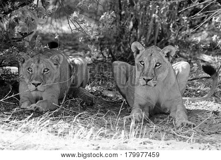Monochrome image of two lions sitting next to a bush looking alert and interested in surroundings, while a third hides in the bushes.  Hwange National Park, Zimbabwe