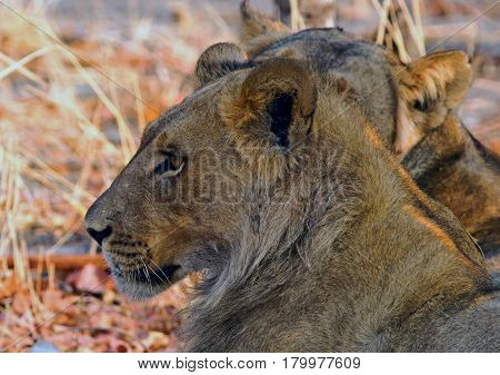 Side Profile of an adolescent Lion face looking directly ahead, Hwange National Park, Zimbabwe