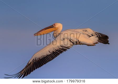 white pelican (pelecanus onocrotalus) in flight in Danube Delta Romania