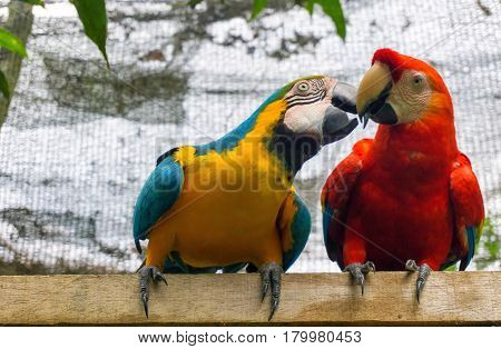 A scarlet macaw with a blue-and-yellow macaw near Iquitos Peru