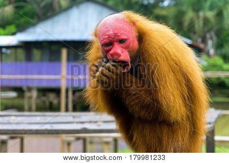 Closeup view of a Bald Uakari Monkey eating near Iquitos Peru