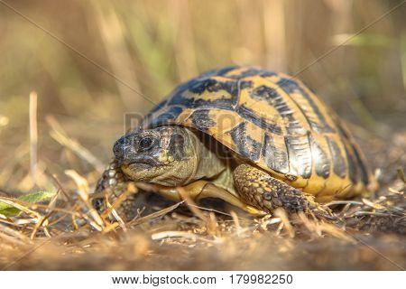 Hermann's Tortoise (testudo Hermanni) In Grassy Environment Italy, Europe