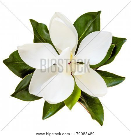 Magnolia flower, top view, isolated on white.  Dwarf variety of magnolia grandiflora, Little Gem.