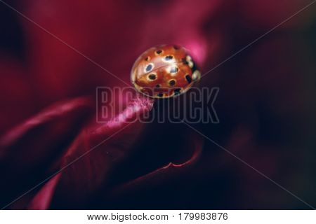 Cute little ladybug sitting on red flower close-up macro shot of red ladybird on purple flower petal nature insect concept