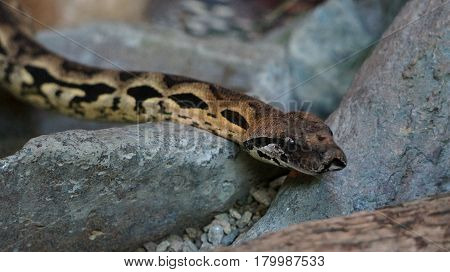 Beautiful snake boa with magnificent color on the rock