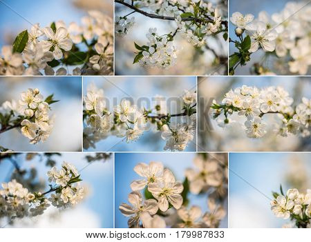 Collage of spring flowers. Collection of blooming tree in garden. Spring concept. Natural white flowers.