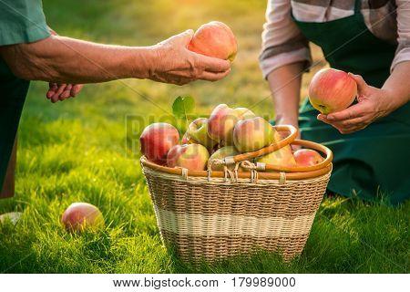 Senior hands holding fruits. Apple basket on grass. Gardening as home based business.