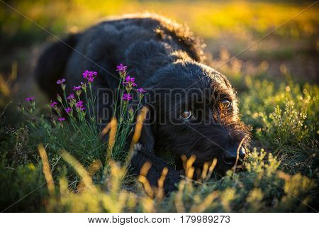 Cute black mutt dog on spring meadow during sunset.
