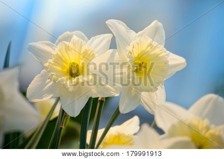 Spring flowers daffodil on blue sky background. Close up