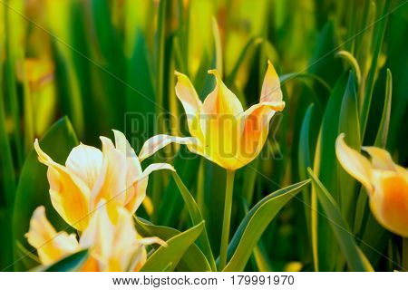 Yellow-orange tulips in a spring sunny greenhouse