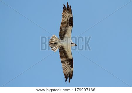 Osprey (pandion haliaetus) in flight with a blue sky background