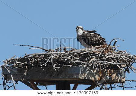 Osprey (pandion haliaetus) on a nest with a blue sky background