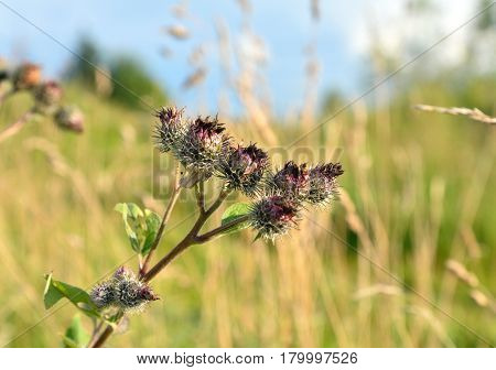 Barb burdock closeup on blurred background. Burdock latin Arctium - genus of biennial plants of the family Asteraceae or Compositae.