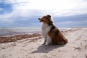 Shetland Sheepdog having happy walkies on an Australian beach poster