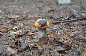 Mushroom hunting. Gathering mushrooms. Leccinum aurantiacum or aspen mushroom mushroom photo forest mushroom forest mushroom photo. Gathering Wild Mushrooms. poster