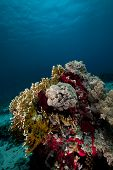 Net fire coral and fish in the Red Sea. poster
