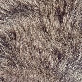 Brown-colored wild animal fur. Thick and fluffy hairs. Macro shot. poster