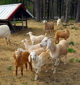 A group of curious friendly young goat kids. poster