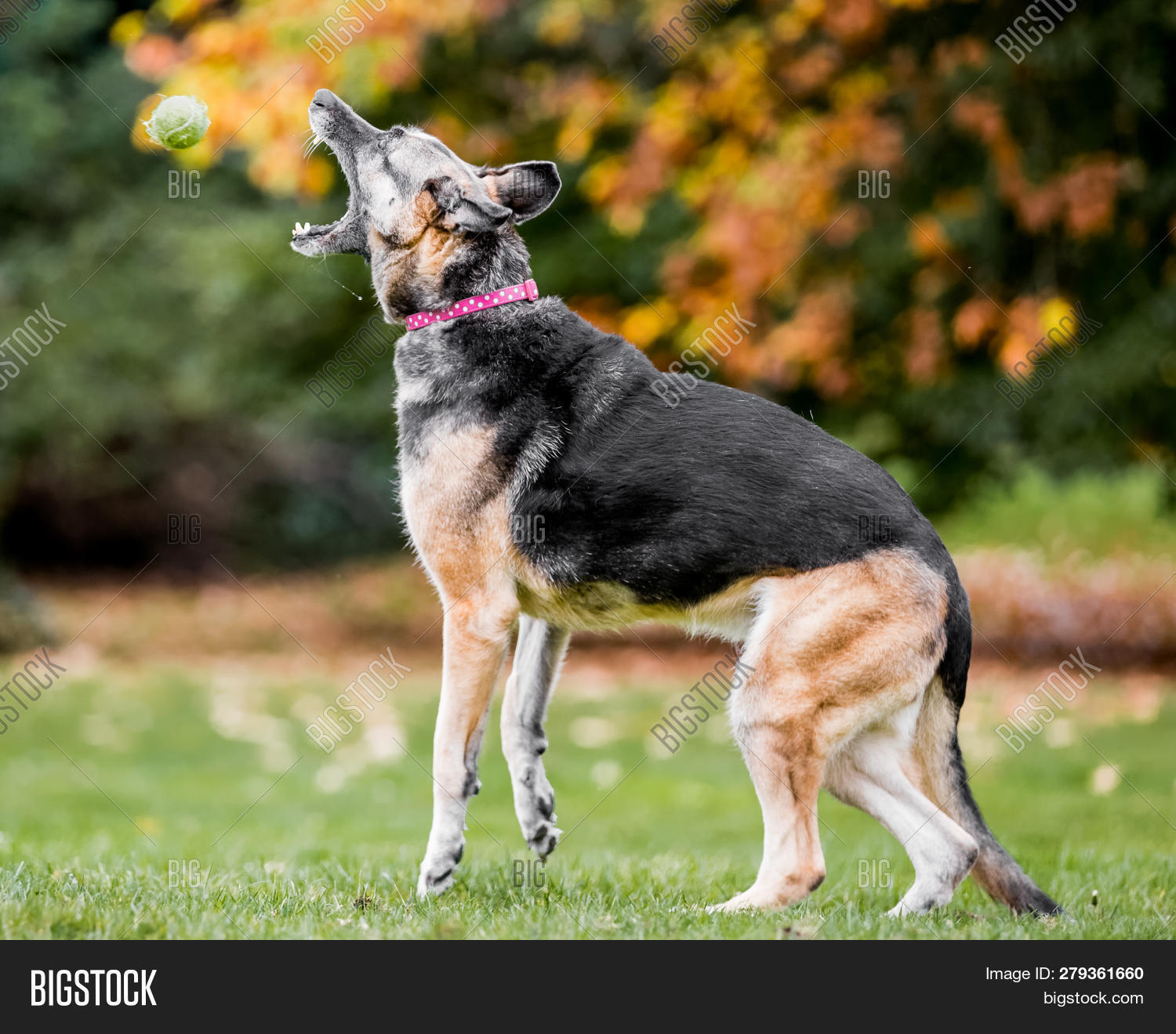 Very Old Alsatian Image Photo Free Trial Bigstock