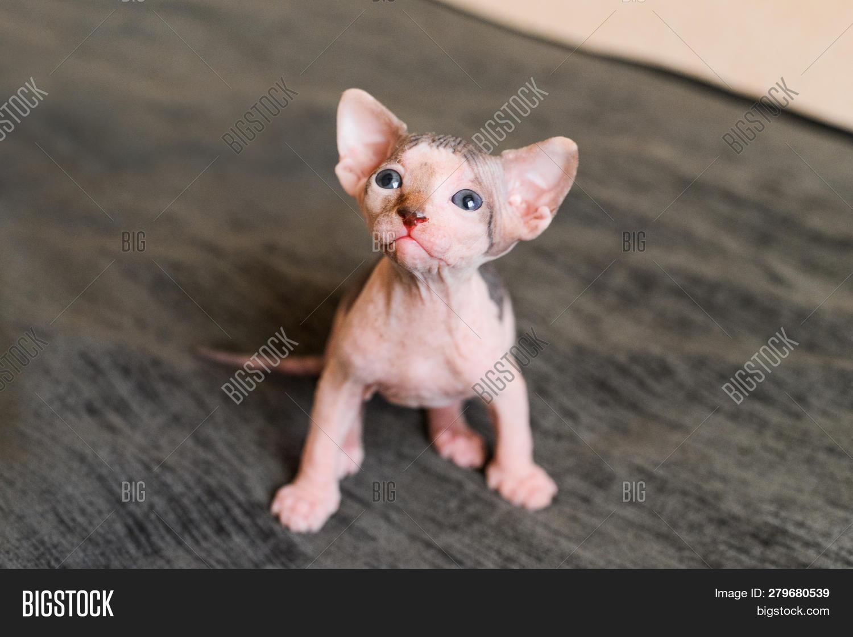 Portrait Bald Cat, Image & Photo (Free Trial)   Bigstock