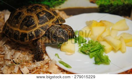 Turtle In A Terrarium Eating A Sliced Apple Sitting In A Saucer