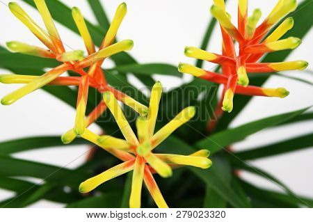 Guzmania Flower On White Background. Red And Yellow.