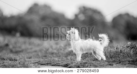 A Cute White Chorkie Puppy Standing In The Countryside. A Yorkshire Terrier And Chihuahua Cross Dog