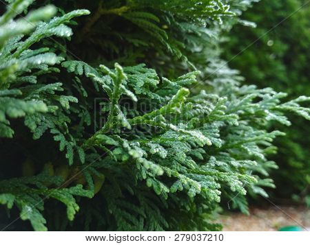 Dew On Coniferous Branches. Tuya Green Background, Coniferous Tree. Green Tuya Texturein The Spring