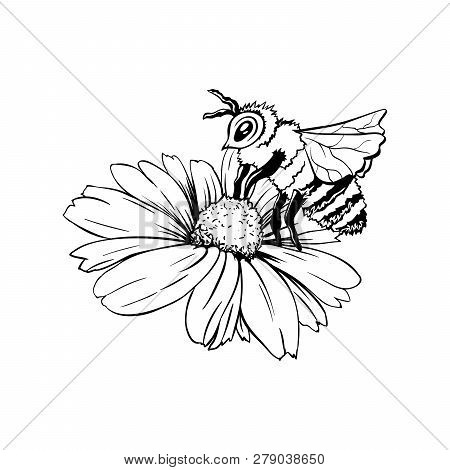 Chamomile Bud And Bee Pollination. Hand Drawn Ink Pen Illustration, Flower Freehand Drawing, Isolate