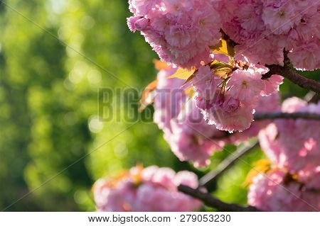 Beautiful Sakura Blossom In Springtime. Pink Buds On The Blurred Green Background. Lovely Nature Sce
