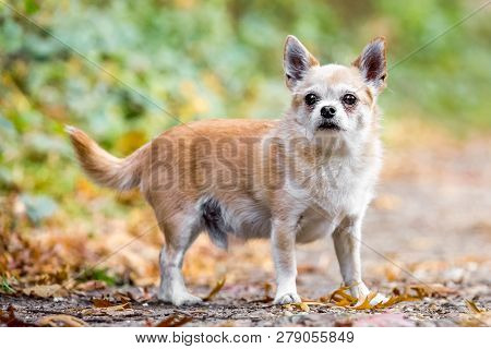 A Cute Sandy Small Chorkie Puppy Dog Standing In The Countryside Facing The Camera. A Yorkshire Terr