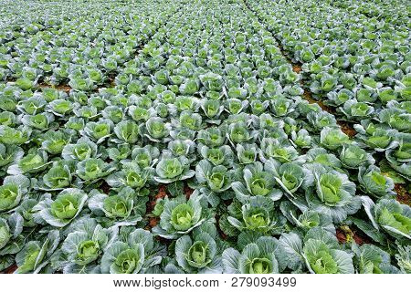 Plantation Of Cabbage Or Brassica Oleracea Beautiful Nature Rows Of Green Vegetables In The Cultivat