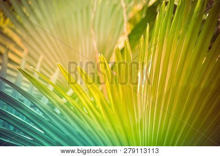 Palm Leaf Background / Palm Tree With Big Leaves Green With Filter Summer Tropical Plant In The Jung