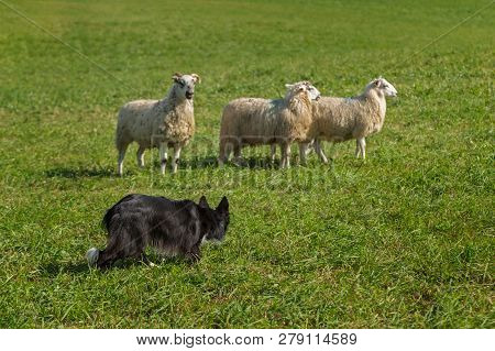 Stock Dog Creeps Up On Sheep (ovis Aries) - At Sheep Dog Herding Trials