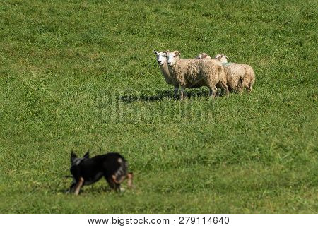 Group Of Sheep (ovis Aries) Closely Watch Stock Dog - At Sheep Dog Herding Trials