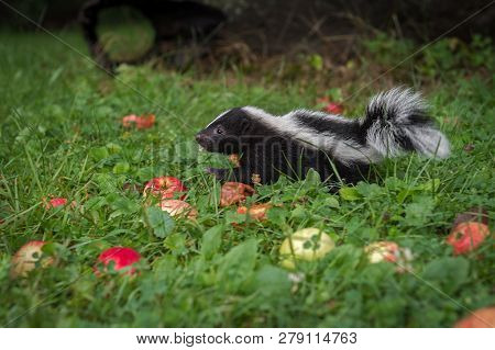 Striped Skunk (mephitis Mephitis) Kit Moves Left Through Grass And Apples Summer - Captive Animal