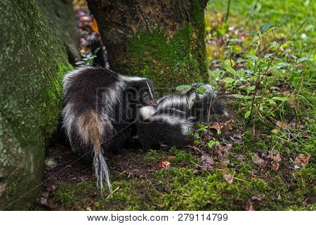 Striped Skunk (mephitis Mephitis) Drags Kit Between Rock And Tree Summer - Captive Animals